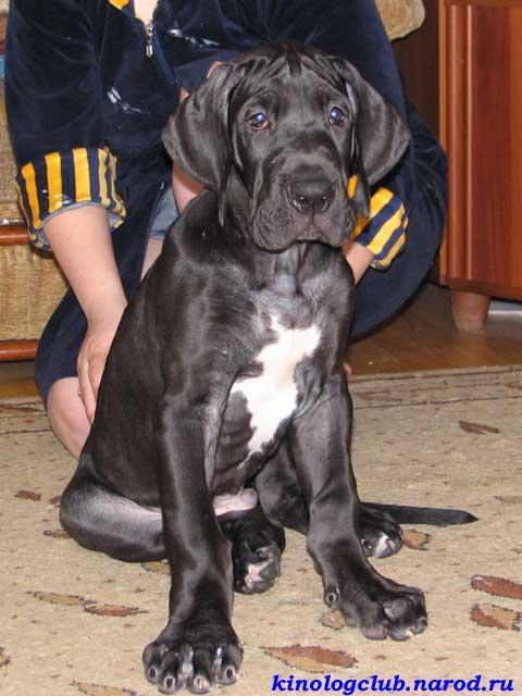 5 Month Great Dane Puppy